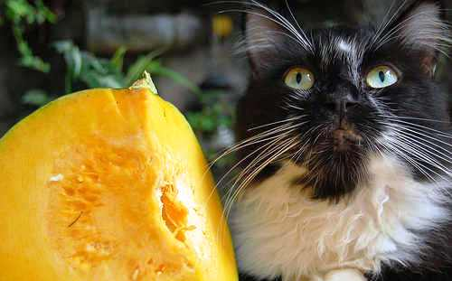 cat - a beautiful cat begging for fruits.