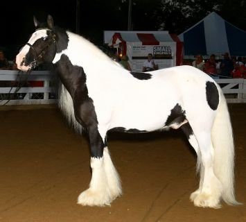 Gypsy Vanner - They come mostly in Pinto colors. They look like a pony size Shire!