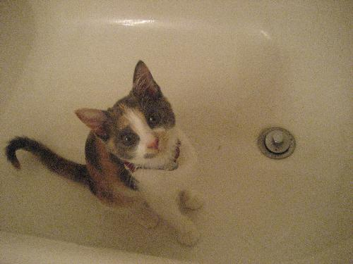 Kitten in a Bathtub - Why are you in the bathtub? Bad things happen in the bathtub! BAD THINGS!  This is my 5 month old kitten 'Nenya', and she really likes hanging out in the bathtub for some reason.