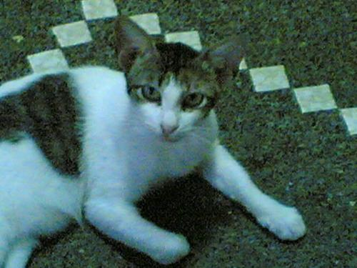 Mingming the lost cat - She just came in our house one day and never leave. Maybe she got lost and can't find her way home. I just let her stay in our house as long as she wants. At the beginner I don't like her because she always got angry with my cats when eating their food. But I talk to her not to do that. She become good now.
