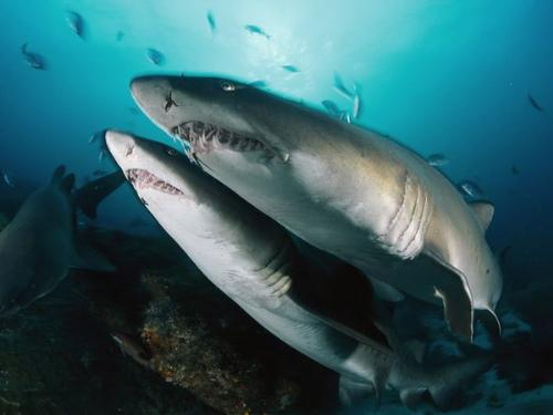 Tiger sharks - These are Sand Tiger Sharks. They have alot of teeth!