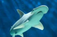 Bonnethead - A Bonnethead Shark. They are a member of the Hammerhead Shark family.