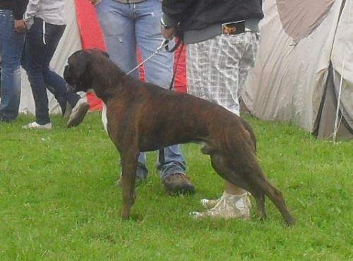 Boxer - at CACIB Sibiu 2011