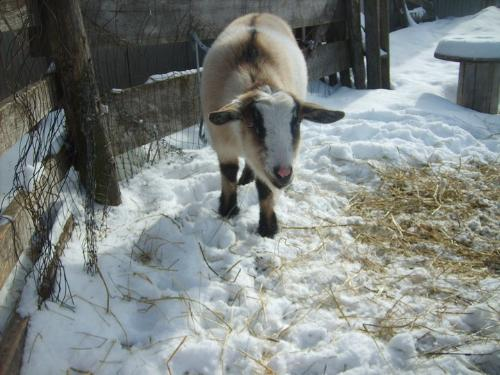 Claude - Claude is a Nigerian Dawf. He is a nice and friendly goat!
