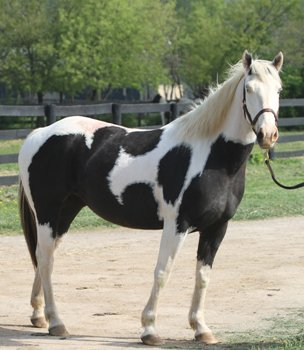 Paint mare - I have never seen a Paint like this before where the head and neck is all white! Wow!