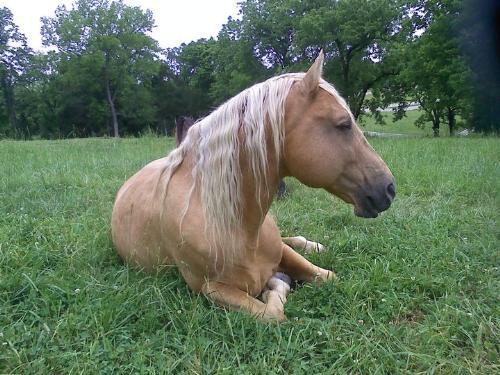 Ivory Pal - Pal is a Palomino Tennessee Walking stallion.