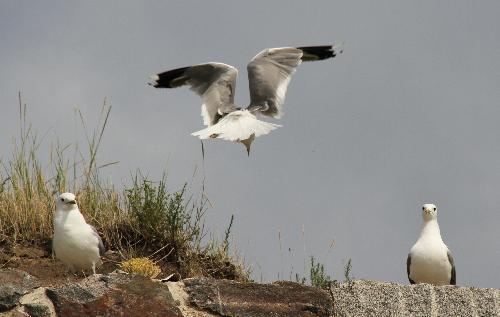 Gull landing - Gull landing between two other gulls