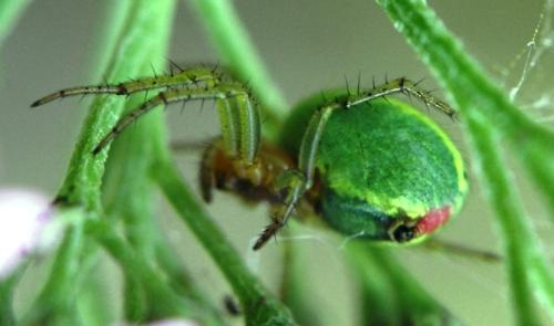 Green spider - Green spider outside