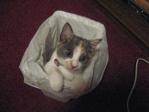 Kitten in a Trash Can - What is your fascination with this trash can, cat?!?!?