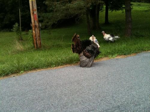 Tom Turkey - This tom Turkey is trying to get the hens attention.