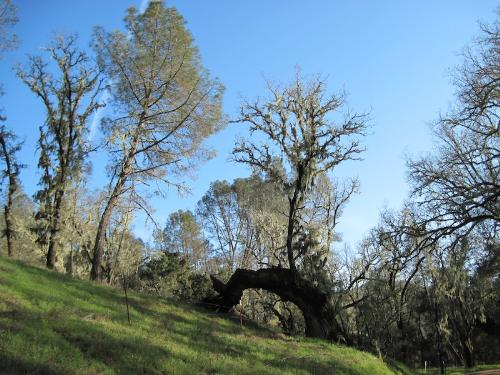 Unique trees on Dover Canyon Road in Paso Robles,  - I saw these trees on a summer walk, and they seemed almost enchanted to me.