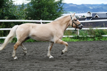 Horse trotting - Yellow horse trotting