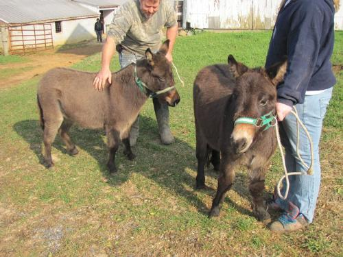 Mules - Theses are minni mules.