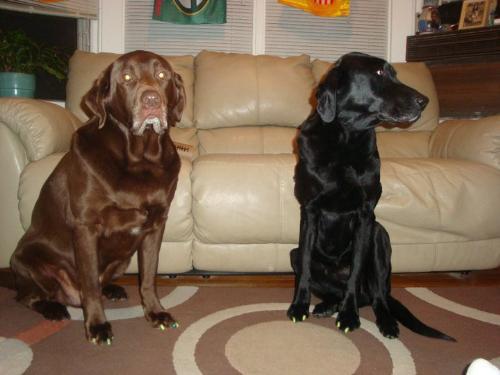 Labadors - The brown Lab is Weaver. The Black Lab is Weaver's best friend,Jack.