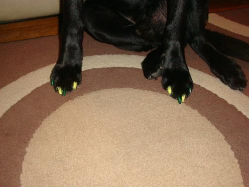 Painted toenails - Not your average toenails! They belong to a Black Lab names Jack! The toenails are painted yellow and green to for the Green Bay Packers.
