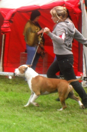 American Staffordshire Terrier - at CACIB Sibiu 2011