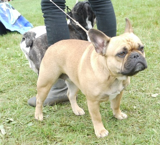 French Bulldog - at CACIB Sibiu 2011