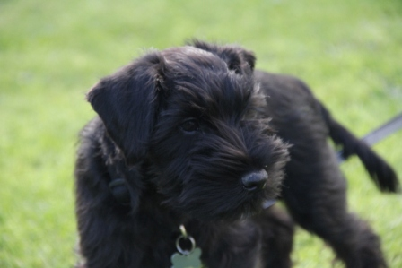 Black puppy - Small black puppy