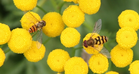 Two insects on a flower - Yellow flower with two insects