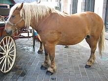 Comtois - A light draft horse that devolped in the Jura Mountians bewteen France and Switzerlsnd