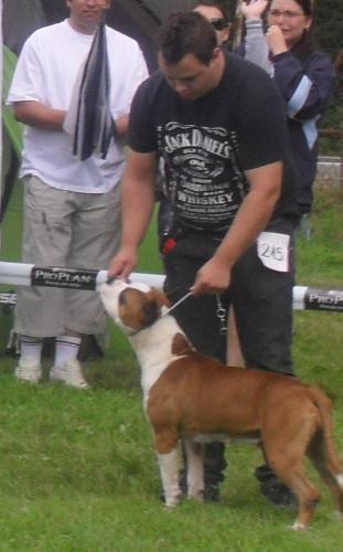 American Staffordshire Terrier - ar CACIB Sibiu 2011