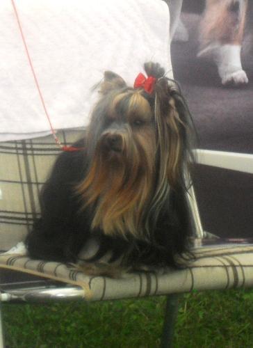 Yorkshire Terrier - ar CACIB Sibiu 2011