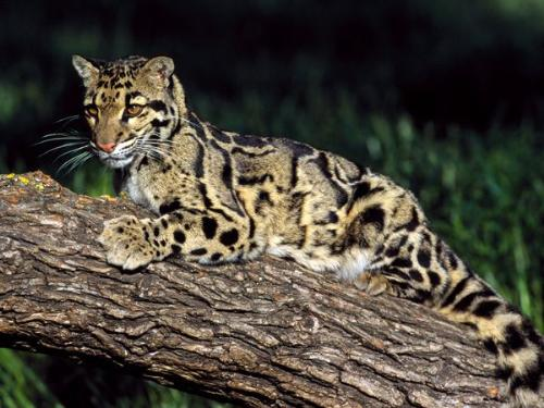 CloudedLeopard - One of the species of the leopard.