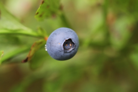 Blueberry - Ripe blueberry