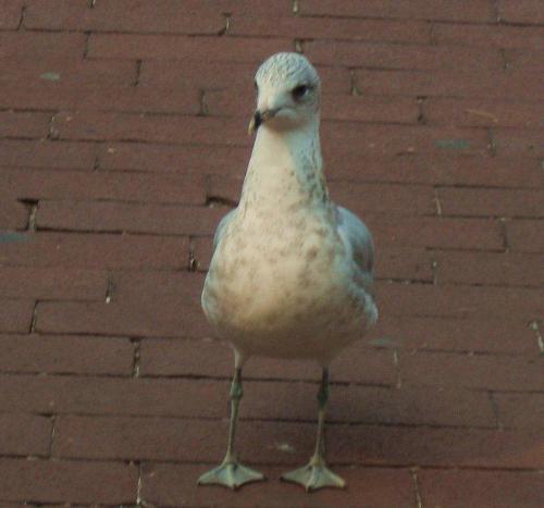 Pigeon - Messenger Pigeon?