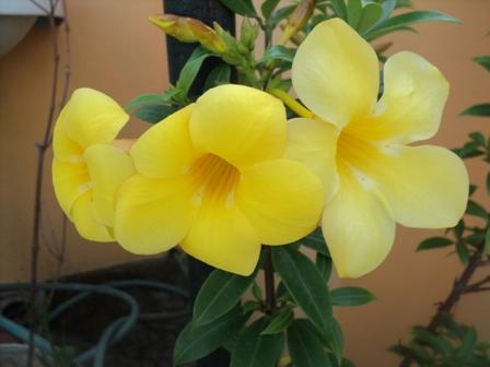 Yellow Bell - Flowers in my garden