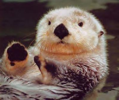 Sea Otter - A sea Otter in the water