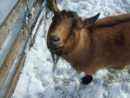Snickers - Snickers is a Pygmy Goat who lives with another Pypmy Goat and a Nigerian Dawf.