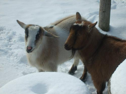 Two Goats - Here is Snickers and his friend Claude.