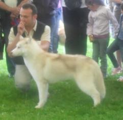 Siberian Husky - at CACIB Sibiu 2011