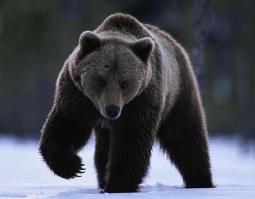 Bear - Big Black Bear