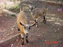 goat - A Nigerian Dawf Goat.