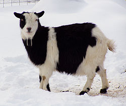 Black and white goat - A Nigerian Dawrf Goat.