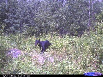 Bear - A black Bear. A very common bear in the USA.