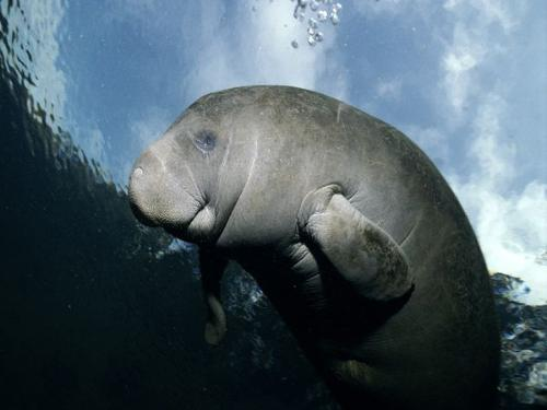 Manatee - Sea cow is another name. They are Aquatic Animals that live off Florida.