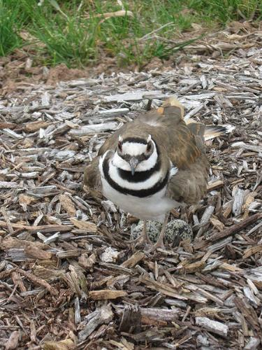 Guarding the nest - A male Killdeer guarding the nest.
