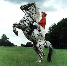 Knabstrupper - A Danish breed of horse that is spotted.