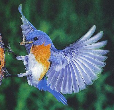 blue bird - beautiful birds I've ever seen
