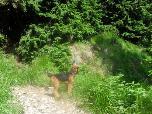 Dog on vacation - Binne during a hike on Mountain Cozia