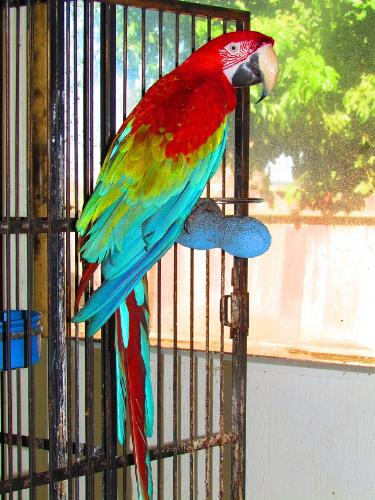 Greenwing Macaw - This is my hand-tame greenwing macaw named Daquiri. I raised him from a baby. He is just 12 years old and can live to be 80 years old or more. He talks and has about 25 words. He also knows the appropriate time to use those words. He also likes to sing La-La-La and dance. When he sees that I am leaving the house to go to work or on errands he knows that it's time to go into his cage, which he does automatically and closes the door. He then says 'Bye-Bye' as I go out the door! Macaws require a lot of work, constant clean-up, and a lot of attention so they don't get bored. If they become bored they can become feather pluckers. Their diets are vegetables and nuts and processed bird pellets. Think long and hard before acquiring any parrot for a pet.