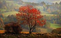 Mapple - Mapple tree