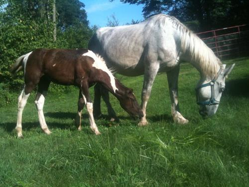 Mare and Foal - A Percheron Mare and her pinto foal.