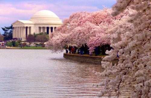 Cherry Blossoms - Cherry blossoms in bloom in D.C.