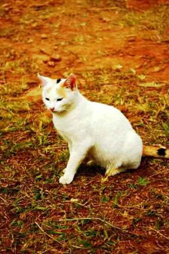 cat - a white cat staring at a distance for food.