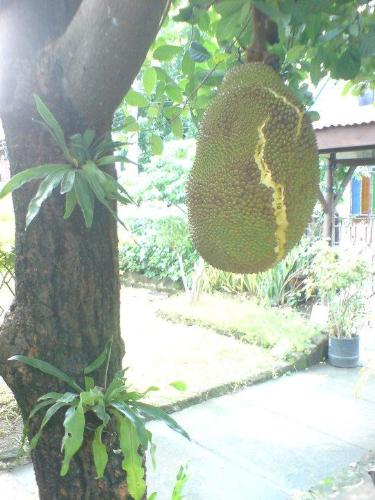 The Jackfruit Bursts - Is this like your jackfruit?