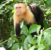 Monkey - A Capuchin monkey. They live in central and south America.